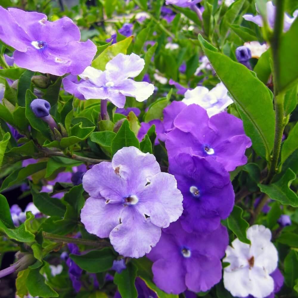 Chiric Sanango Purple Flower